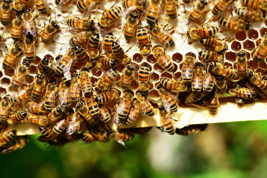 bees in hive making honey