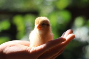 chick sitting in hand
